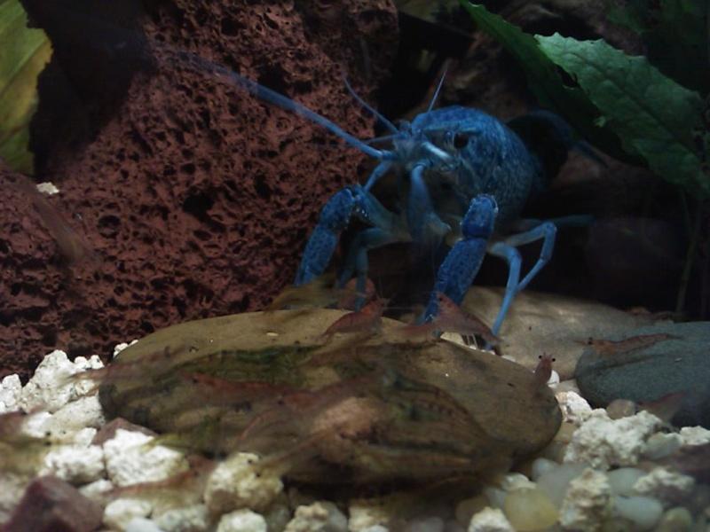 alleni - Procambarus alleni Ecrevisse bleue de floride Dsc_0213