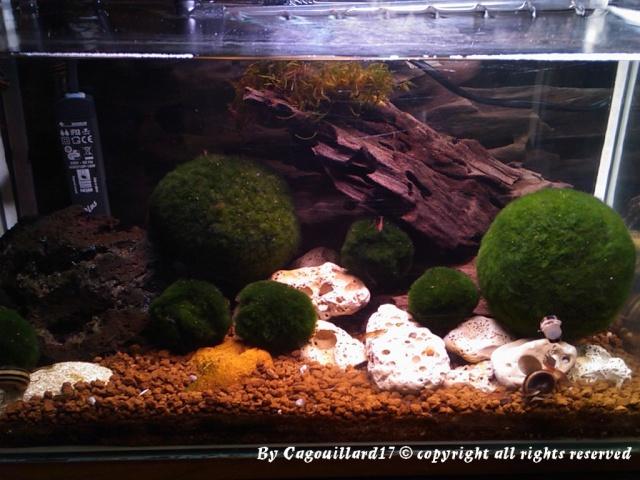 Bac à Escargots  (Marisa cornuarietis) 20L Dsc_0810