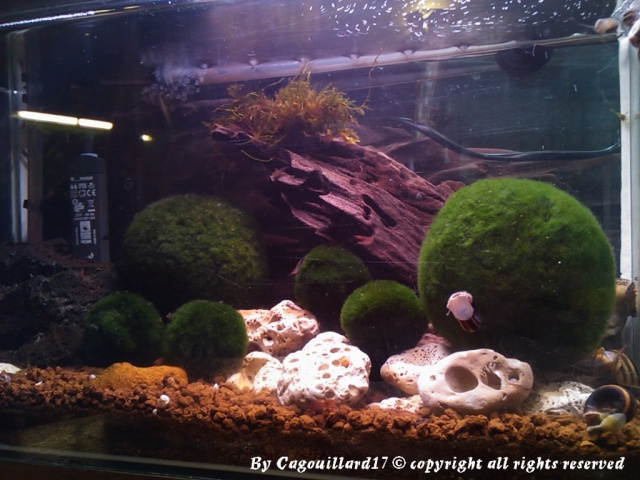 Bac à Escargots  (Marisa cornuarietis) 20L Dsc_0812