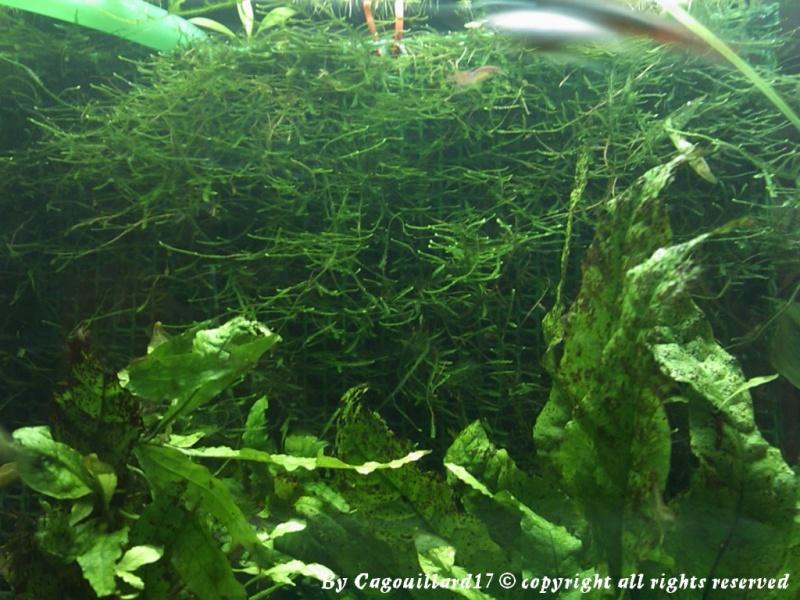 Mur de mousse de java (riccia)  Dsc_0815