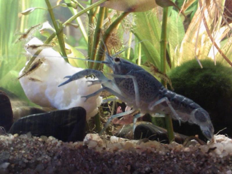 alleni - Procambarus alleni Ecrevisse bleue de floride Dsc_0916