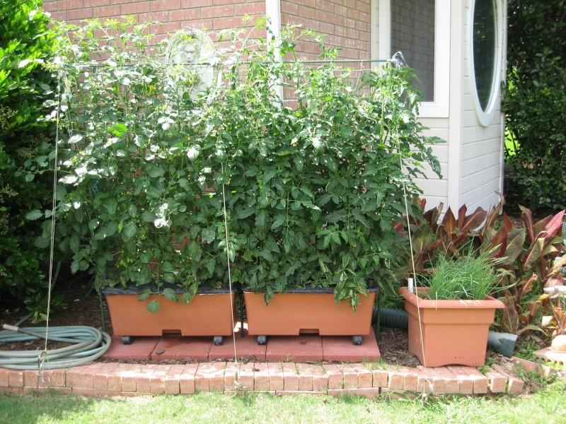 Summer-long Lettuce? 20100516