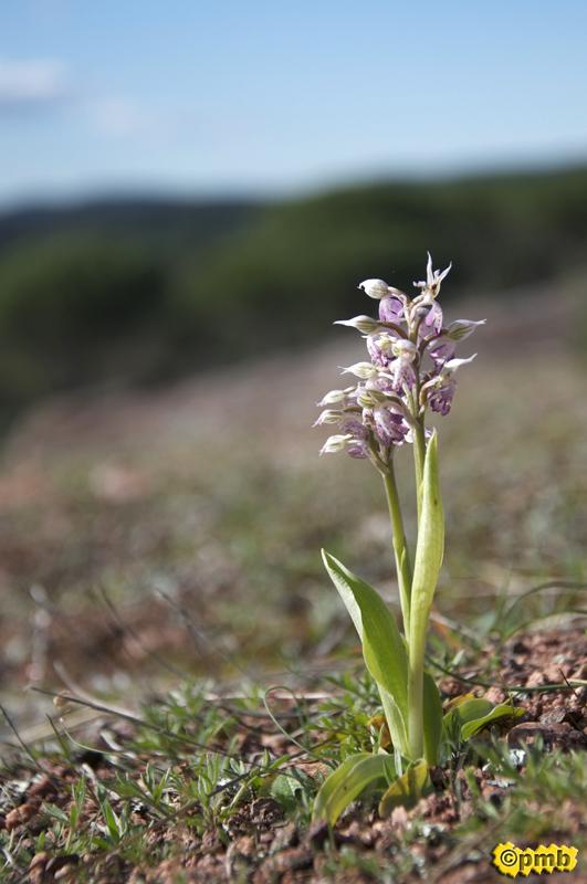 Neotinea lactea ( Orchis couleur de lait ) Nelact10