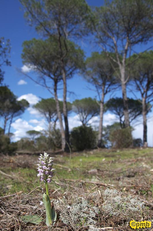 Neotinea lactea ( Orchis couleur de lait ) Nelact11