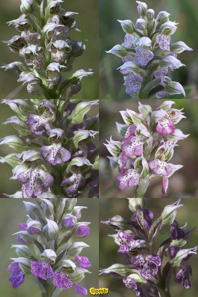 Neotinea lactea ( Orchis couleur de lait ) Nelact12