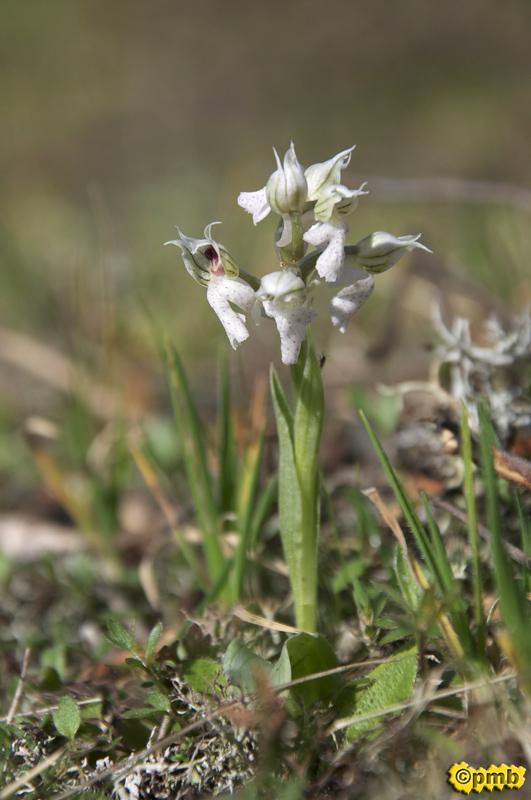 Neotinea lactea ( Orchis couleur de lait ) Nelact13