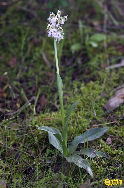 Neotinea lactea ( Orchis couleur de lait ) Nelact14