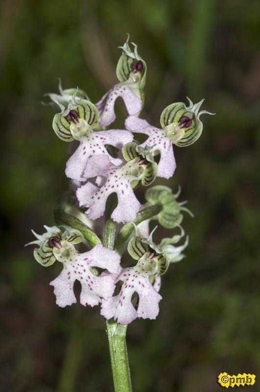 Neotinea lactea ( Orchis couleur de lait ) Nelact15