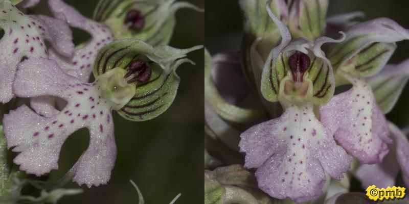 Neotinea lactea ( Orchis couleur de lait ) Nelact17