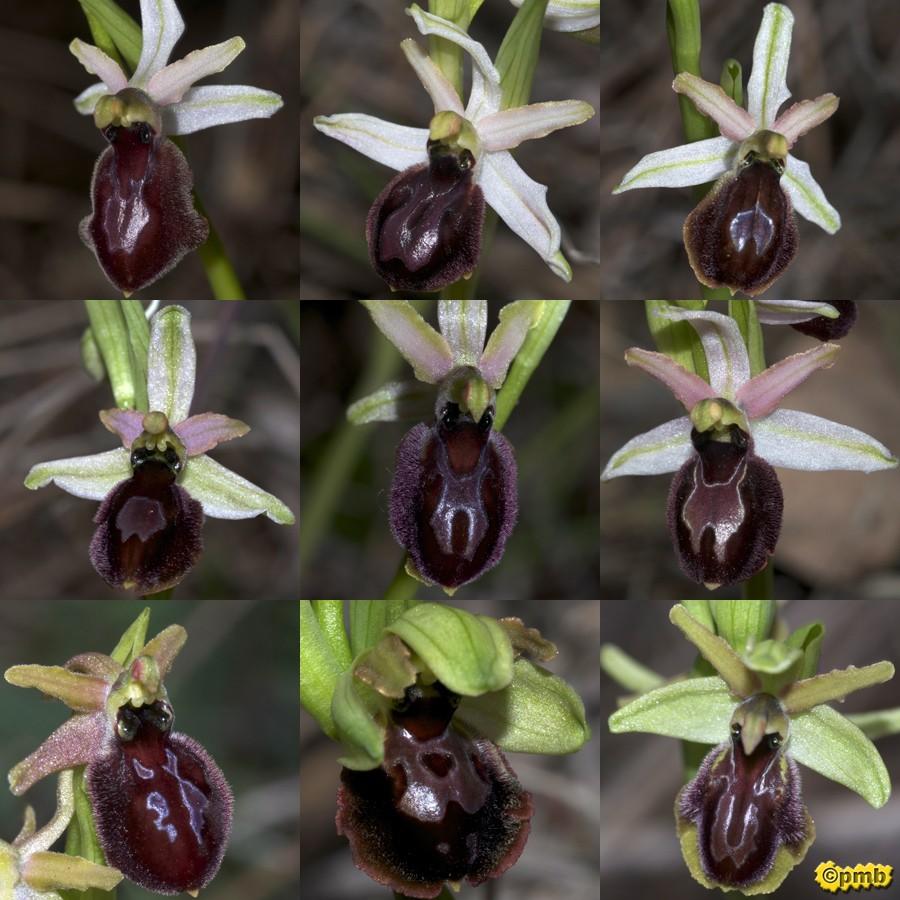 Ophrys exaltata arachnitiformis ( O. en forme d'araignée ) Oparac17