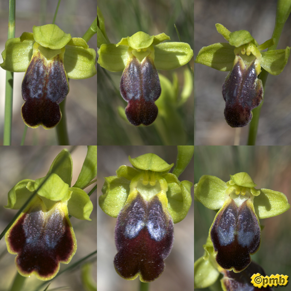 Ophrys bilunulata dans le Var Opbilu26