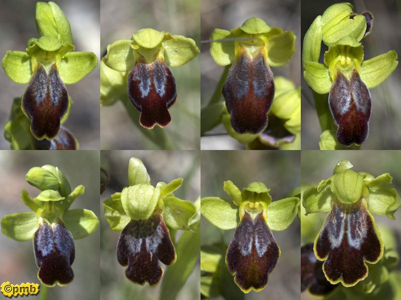 Ophrys bilunulata dans le Var Opbilu27