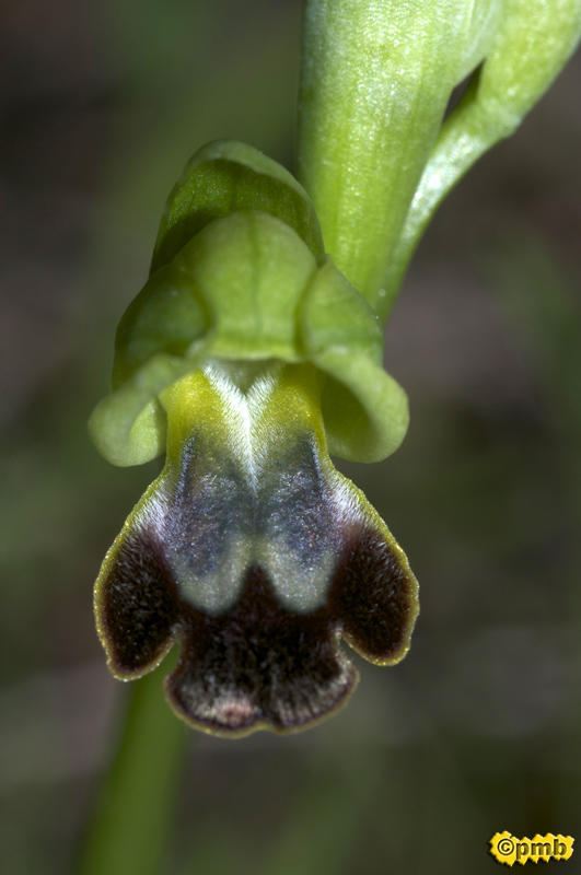 Ophrys delforgei Opdelf10