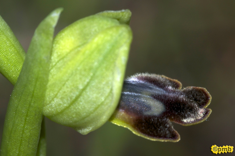 Ophrys delforgei Opdelf11