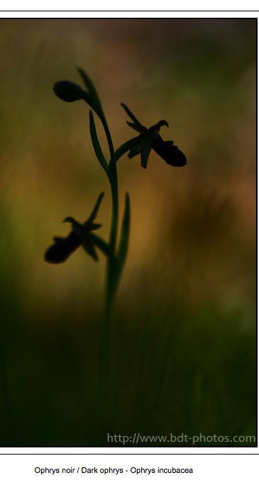 Mise à jour sur mon site ! Ophrys10