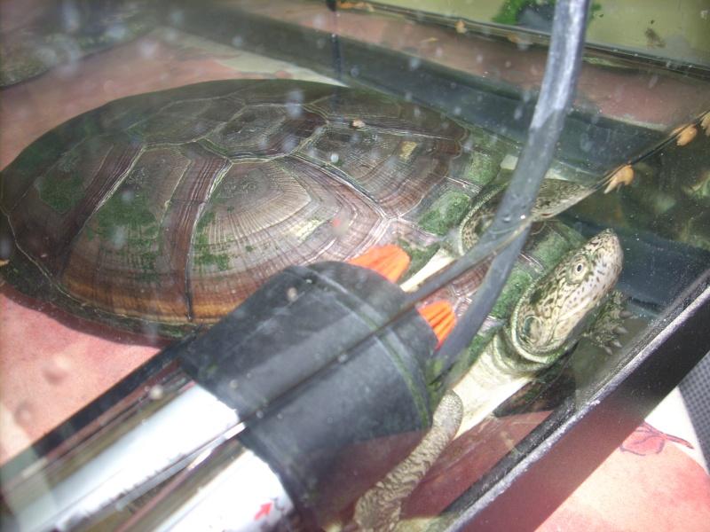 echange pelusios contre tortue de floride Pelome23