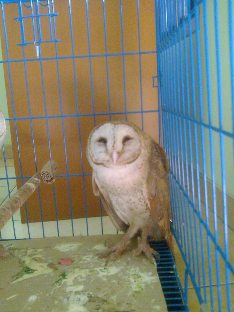 unnamed ( blm di kasih nama.. masih bingung) barn owl Image111