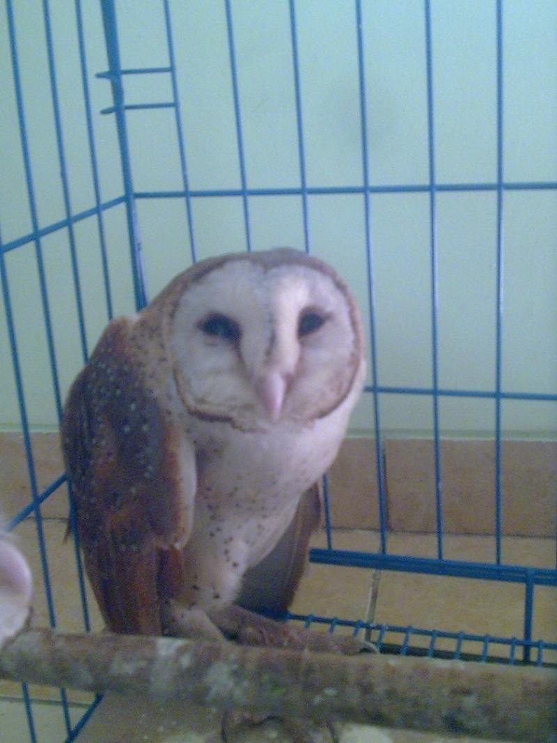 unnamed ( blm di kasih nama.. masih bingung) barn owl Image112