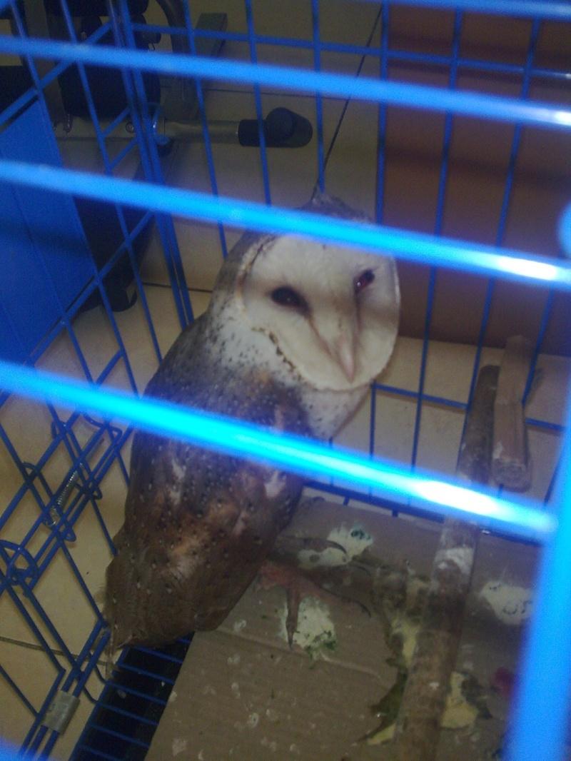 unnamed ( blm di kasih nama.. masih bingung) barn owl Image113