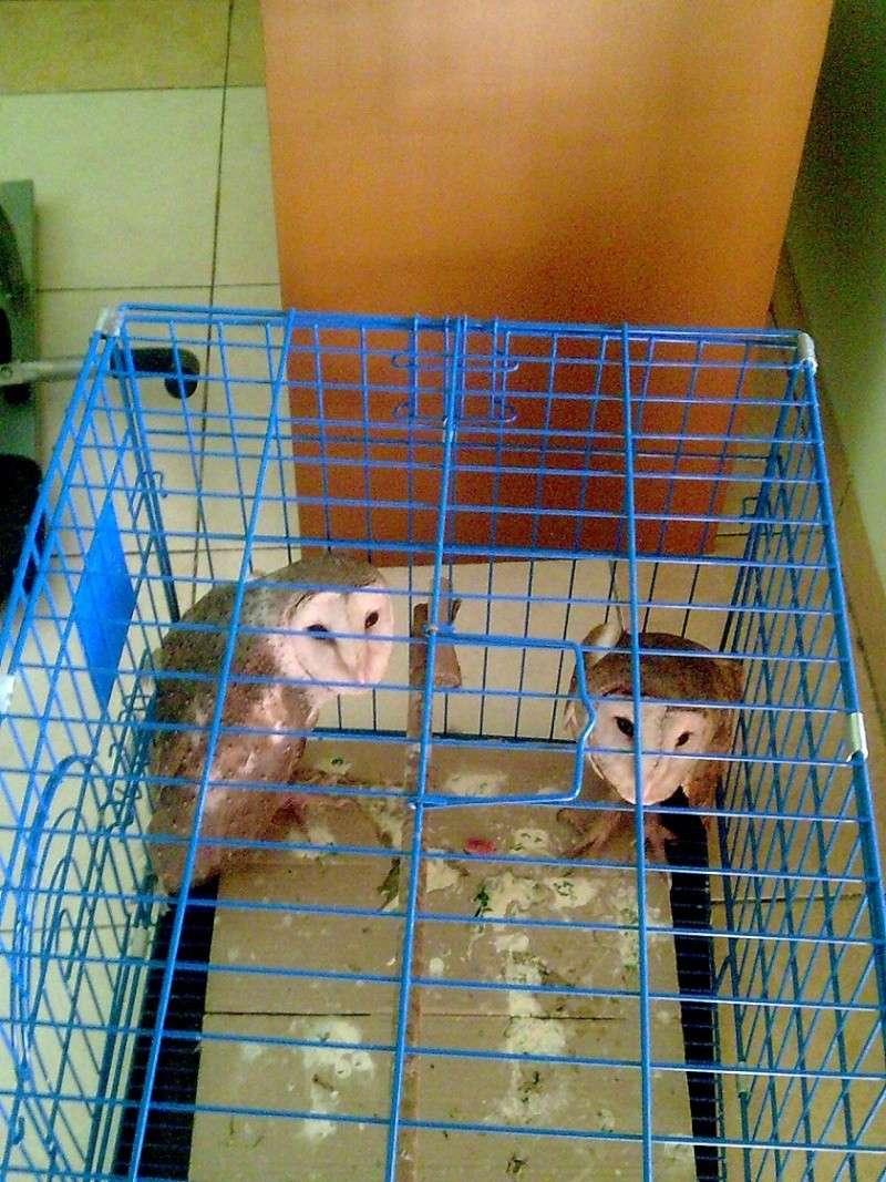 unnamed ( blm di kasih nama.. masih bingung) barn owl Image119