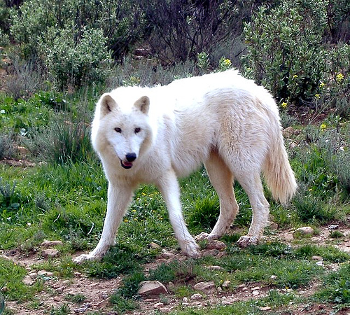 Miya, A young wolf ready to start / join a pack Female10