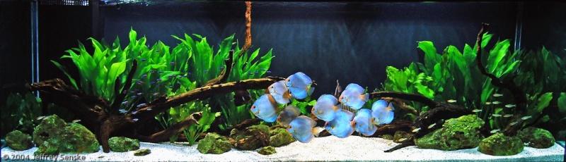Qual aquário ideal para Acará Disco? Saiba agora! Aquari10