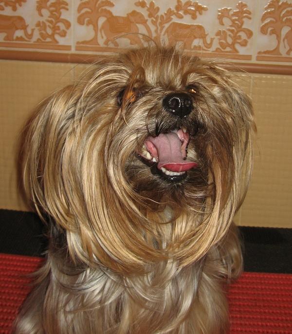 Профессиональные стрижки йоркширских терьеров Puppie24