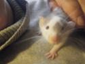 besoin d'aide pour identifier la couleur de mon raton  Dscf2115