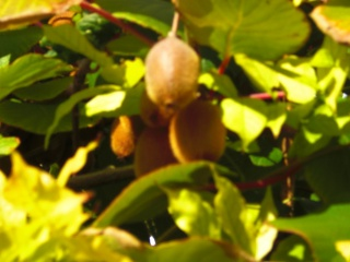 actinidia fruit kiwi Cimg7111