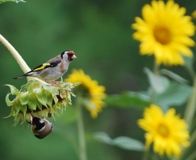 Les oiseaux de nos mangeoires Chardo10