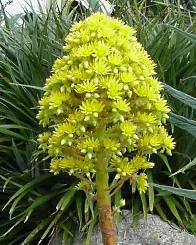 Aeonium arboreum var. atropurpureum Identification plante grasse fleurie ? 800_fl10
