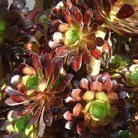 Aeonium arboreum var. atropurpureum Identification plante grasse fleurie ? Aeoniu10