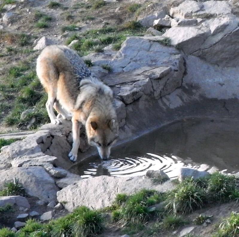 chiens de traineaux Copie_12