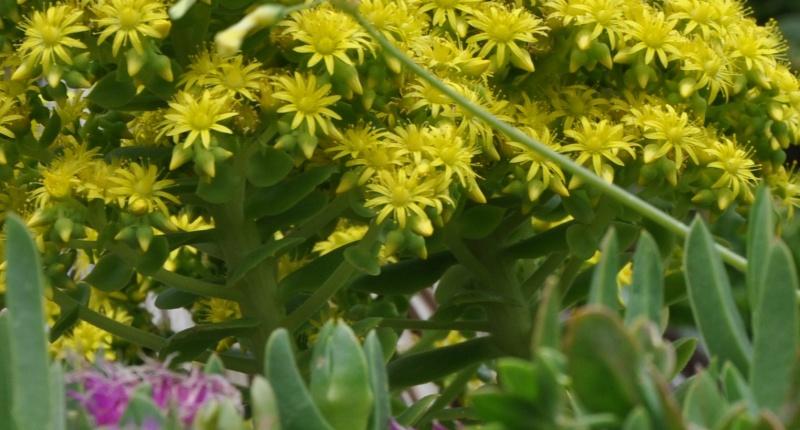 Aeonium arboreum var. atropurpureum Identification plante grasse fleurie ? Copie_22