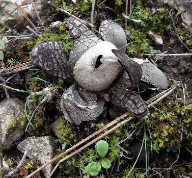 un bien curieux champignon Dabut_11