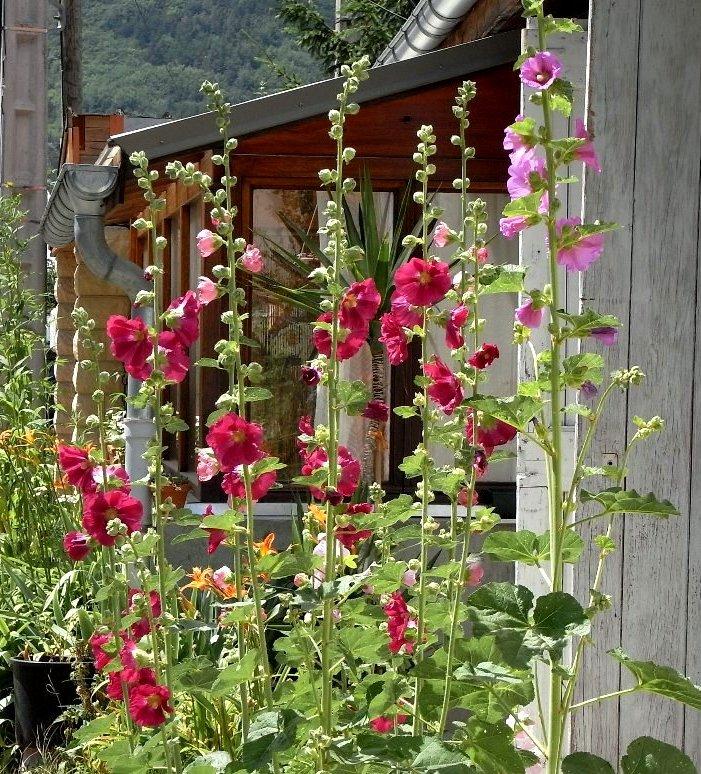 J'avais trouvé son nom puis j'ai oublié snif! Rose trémière ( Alcea rosea ) Juille11