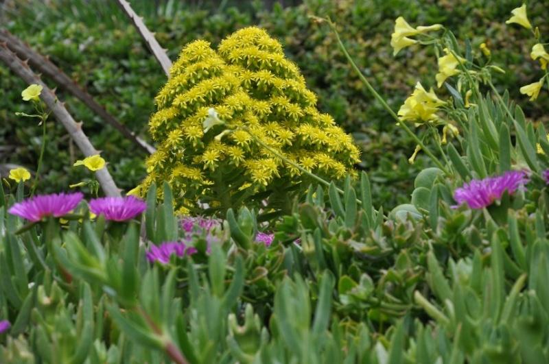 Aeonium arboreum var. atropurpureum Identification plante grasse fleurie ? Mars_211