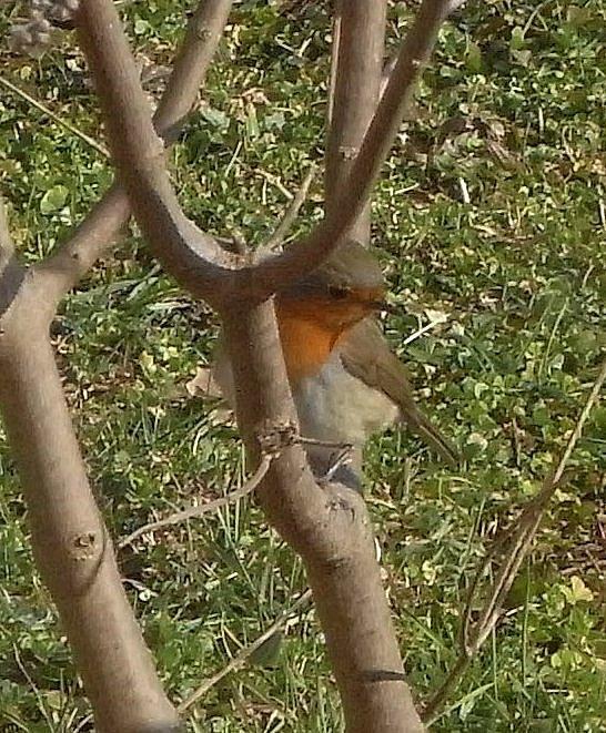 Reconnaitre les oiseaux de nos jardins... - Page 2 Rouheg10