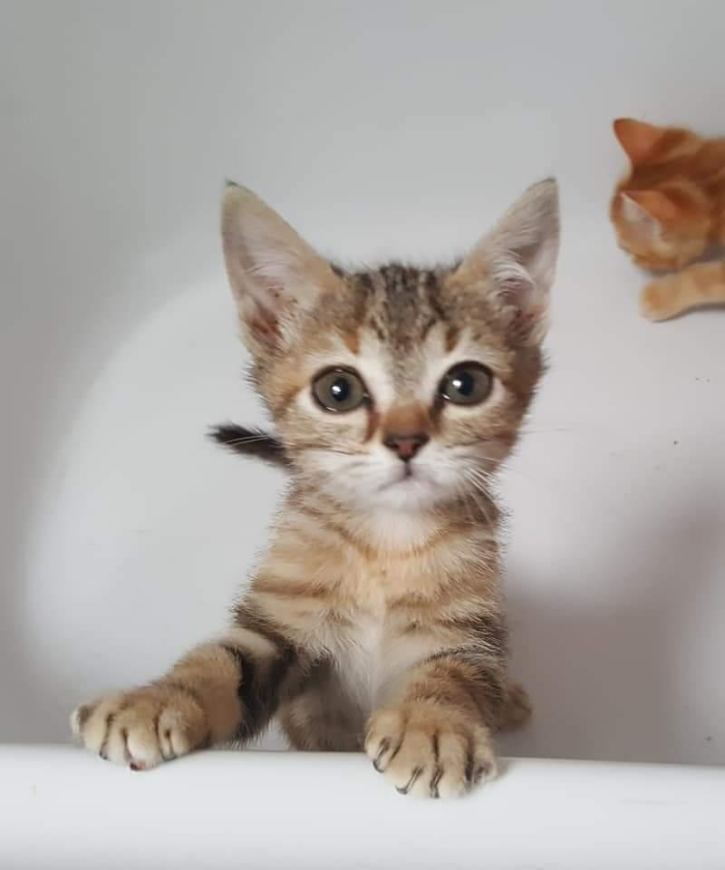 Orélia chatonne marron tigrée né le 21/08/2018 Fb_img11