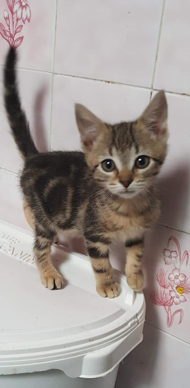 Oligo chaton marron tigré né le 21/08/2018 Fb_img13