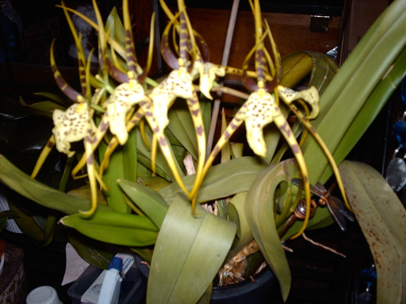 Orchidée VANDA 00823