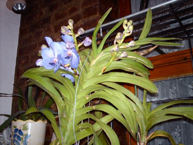 Orchidée VANDA 03812