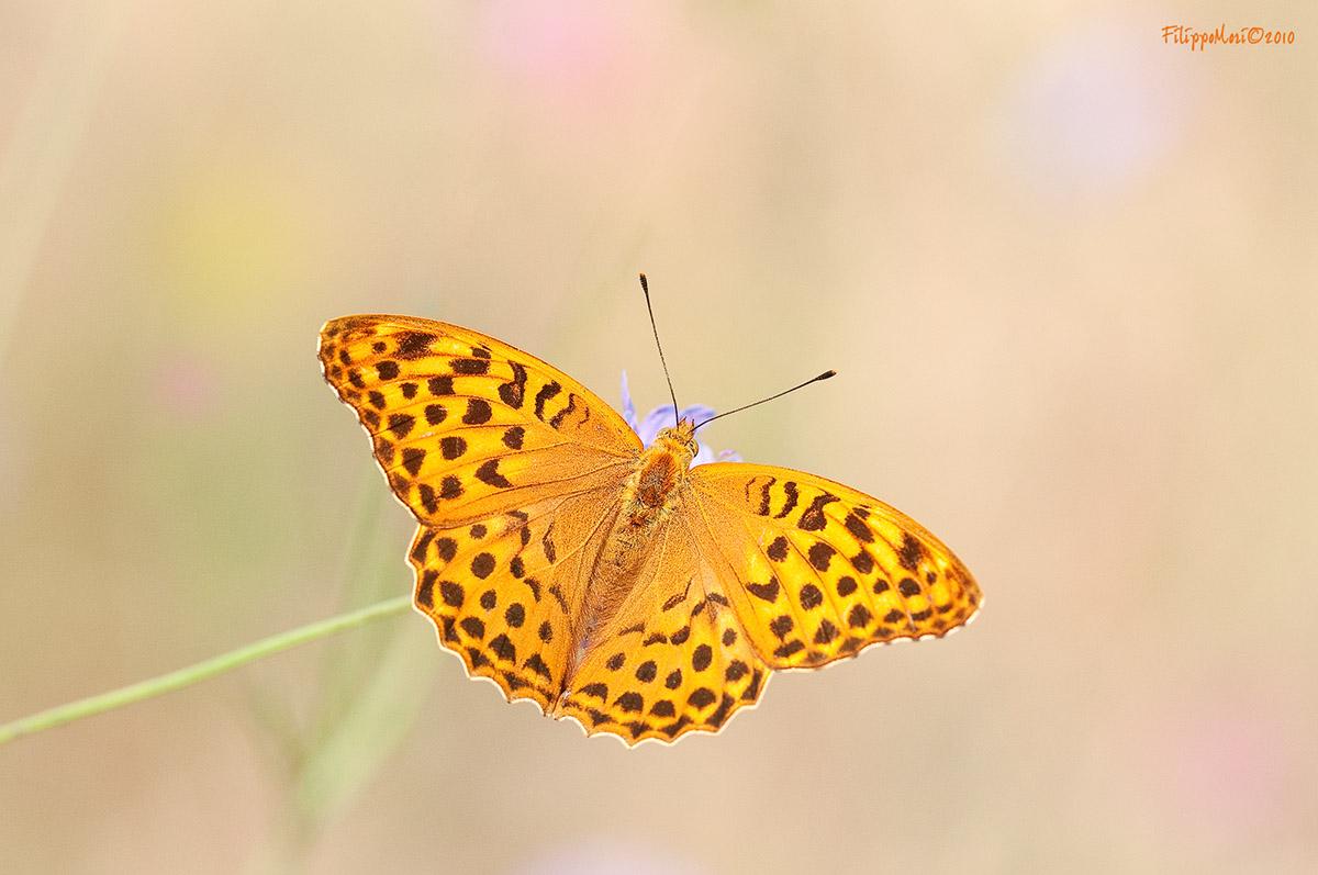 Farfalla ignota (a me) su fiori di rovo Argynn10