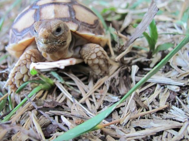Sulcata Tortoise Forum