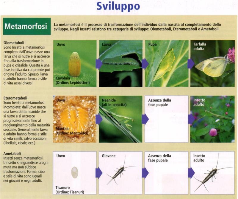 Metamorfosi degli insetti Metamo10
