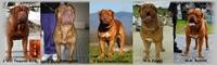 Dogue De Bordeaux ITALIAN FORUM - Portale Libera13