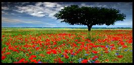 Flowers' field ●●
