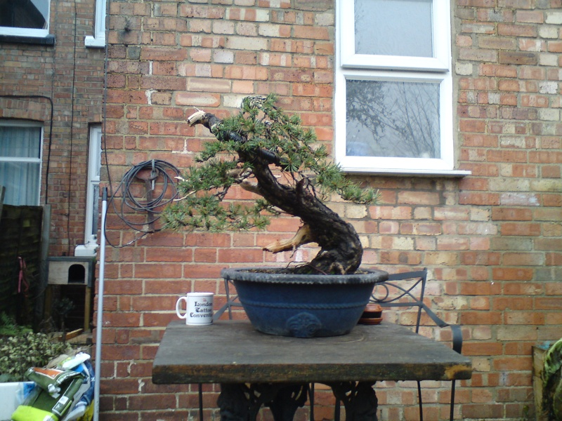scots pine first styling 00410