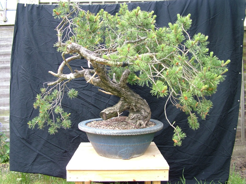 scots pine first styling 111