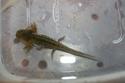 Axolotl Spyro210